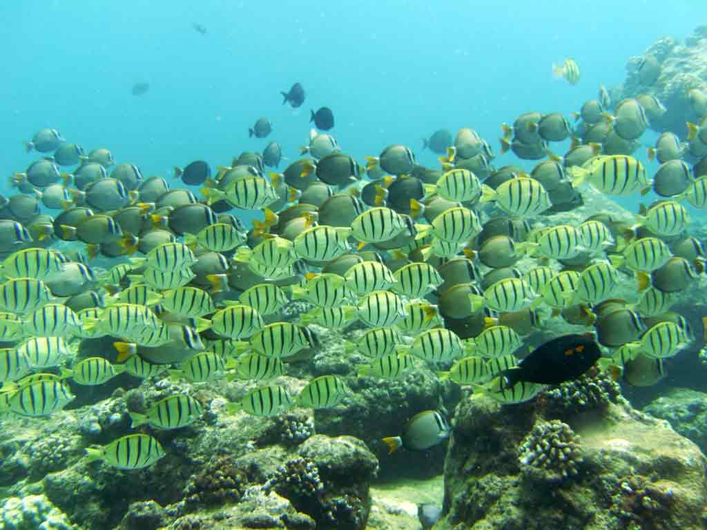 <p><strong>(C)</strong> school of convict tang and whitebar surgeonfish</p>