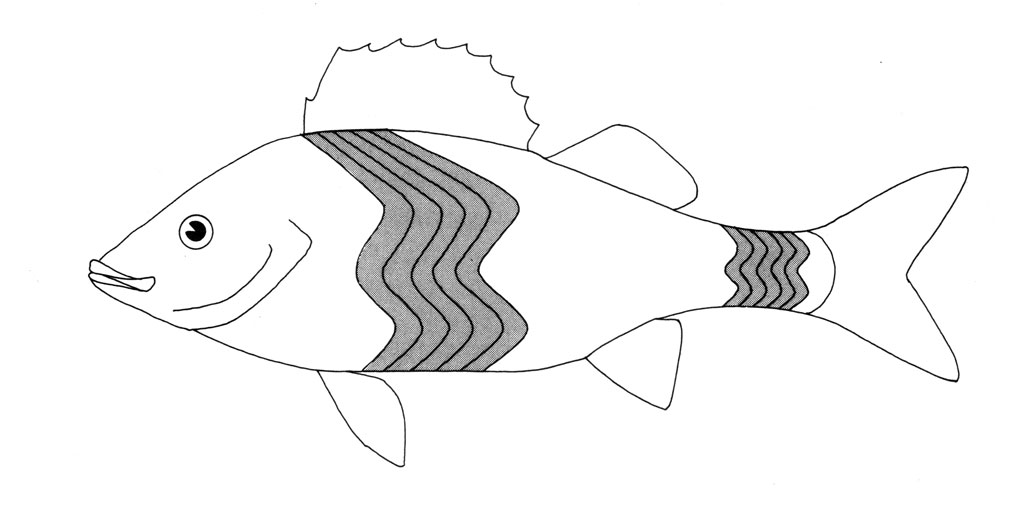 <p>(B) Drawing of skeletal muscle pattern in a fish</p>