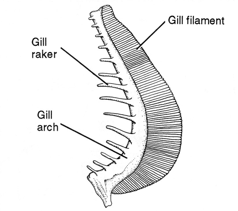 <p><strong>(B)</strong> A drawing of a gill filament with a gill raker and the gill arch labeled</p>