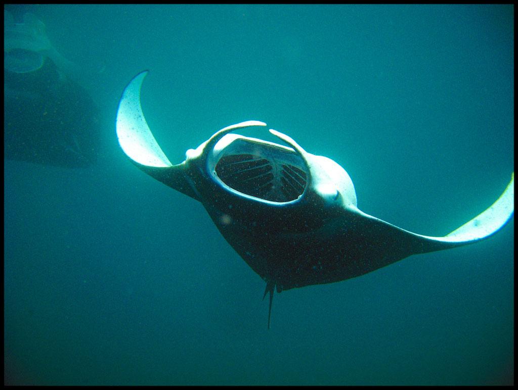<p><strong>Fig. 4.81.</strong> A manta ray feeding on tiny planktonic organisms.</p>