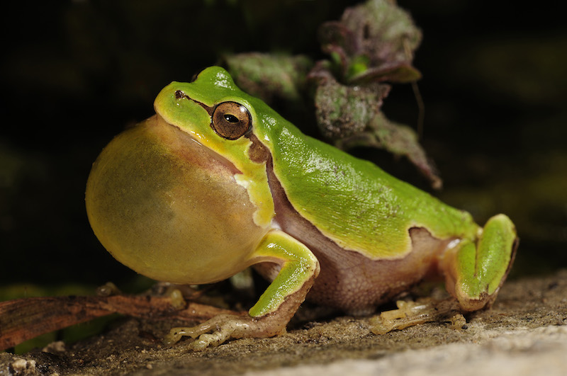 <p><strong>Fig. 5.11.</strong> (<strong>A</strong>) Italian tree frog (<em>Hyla intermedia</em>)</p>