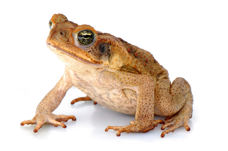 <p><strong>Fig. 5.11.</strong>&nbsp;(<strong>C</strong>) Cane toad (<em>Rhinella marina</em>)</p>