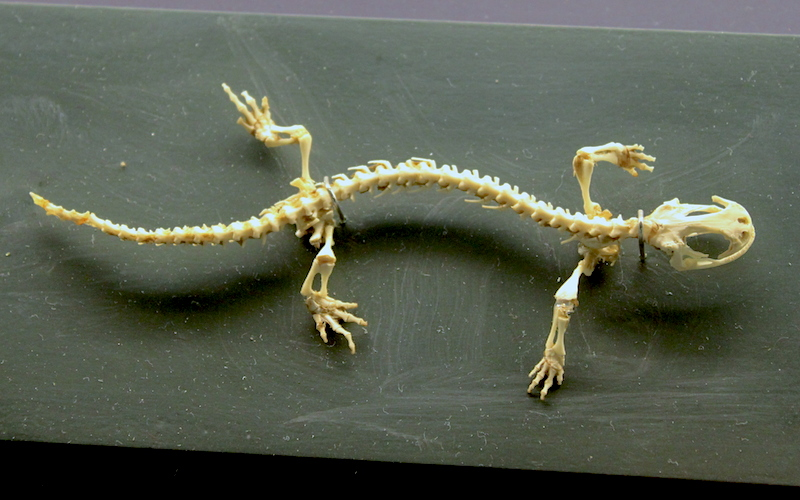<p><strong>Fig. 5.12.</strong>&nbsp;(<strong>B</strong>) Skeleton of a salamander</p>