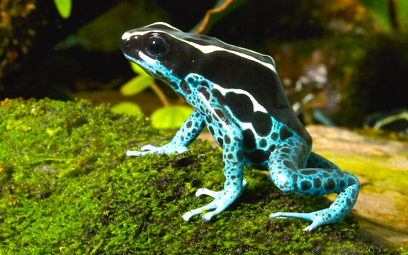 "<p><strong>Fig. 5.14.</strong>&nbsp;(<strong>B</strong>) The dyeing dart frog (<em>Dendrobates tinctorius</em>) is one of over 170 species in the ""poison dart frog"" family native to Central and South America.</p>"
