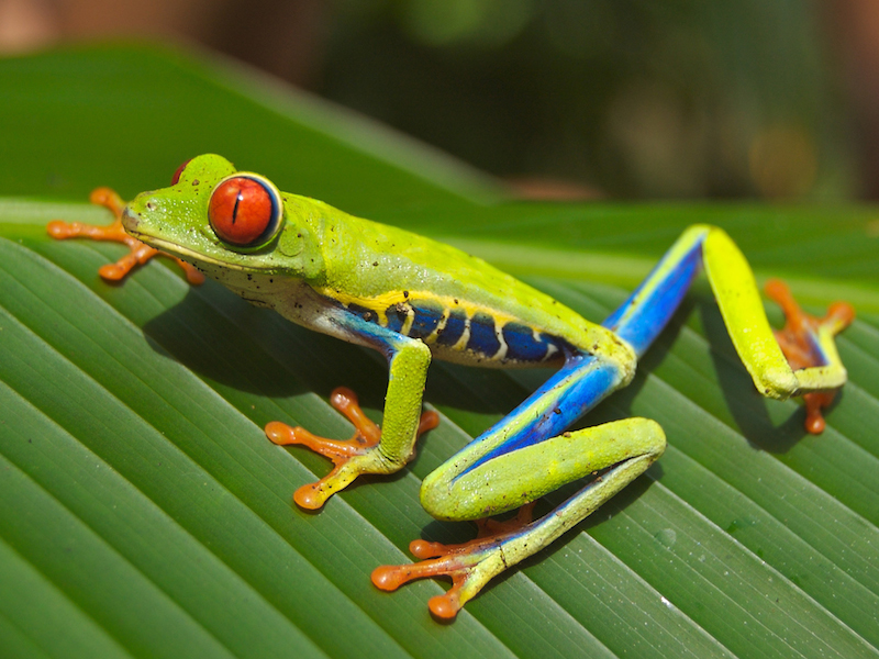 <p><strong>Fig. 5.2.</strong> (<strong>A</strong>) Red-eyed tree frog (<em>Agalychnis callidryas</em>), an example of an amphibian , Playa Jaco, Costa Rica</p>