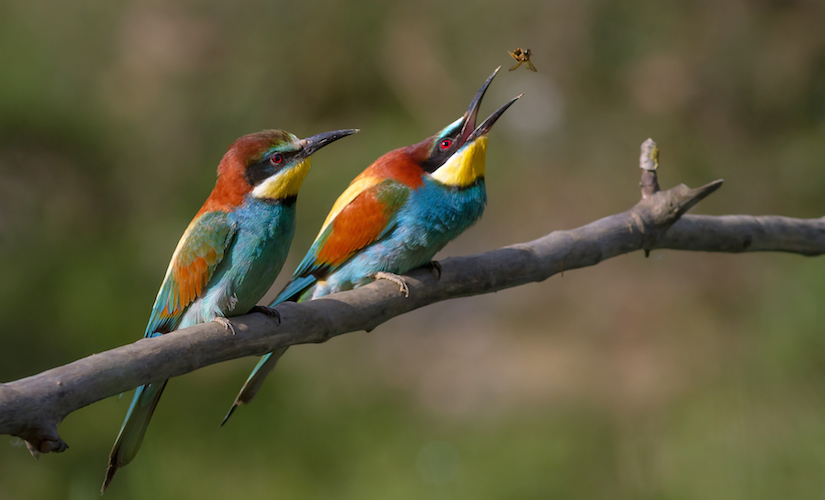 <p><strong>Fig. 5.2.</strong>&nbsp;(<strong>C</strong>) European bee-eaters (<em>Merops apiaster</em>), examples of birds, Ariège, France</p>