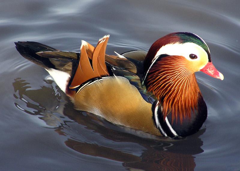 <p><strong>Fig. 5.34.</strong>&nbsp;(<strong>A</strong>) Mandarin duck (<em>Aix galericulata</em>)</p>