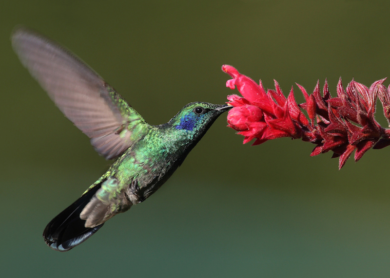 <p><strong>Fig. 5.34.</strong>&nbsp;(<strong>C</strong>) Mexican violetear hummingbird (<em>Colibri thalassinus</em>)</p>