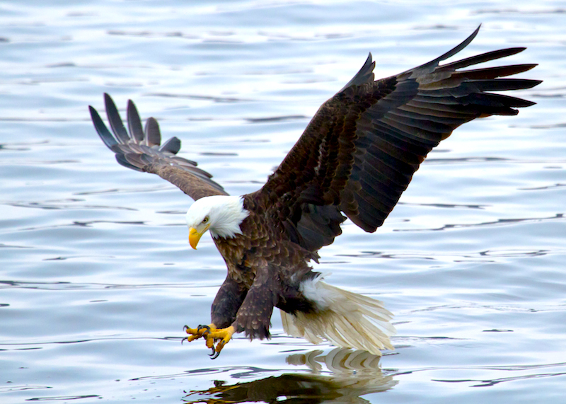 <p><strong>Fig. 5.34.</strong>&nbsp;(<strong>F</strong>) Bald eagle (<em>Haliaeetus leucocephalus</em>) catching fish</p>