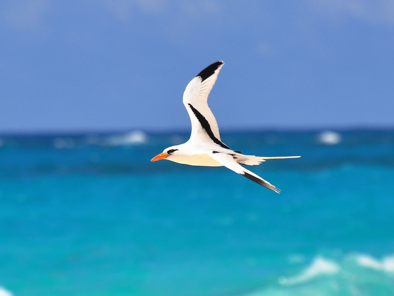 <p><strong>Fig. 5.35.</strong> (<strong>A</strong>) White-tailed tropicbird (<em>Phaethon lepturus</em>), Warwick Parish, Bermuda</p>