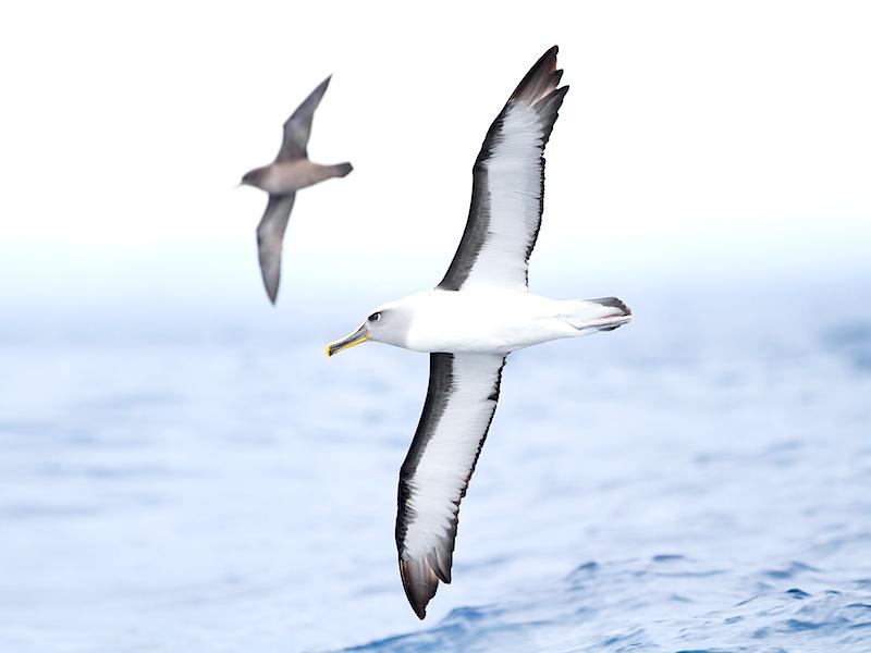 <p><strong>Fig. 5.35.</strong>&nbsp;(<strong>C</strong>) Buller's albatross (<em>Thalassarche bulleri</em>) Tasmania, Australia</p>