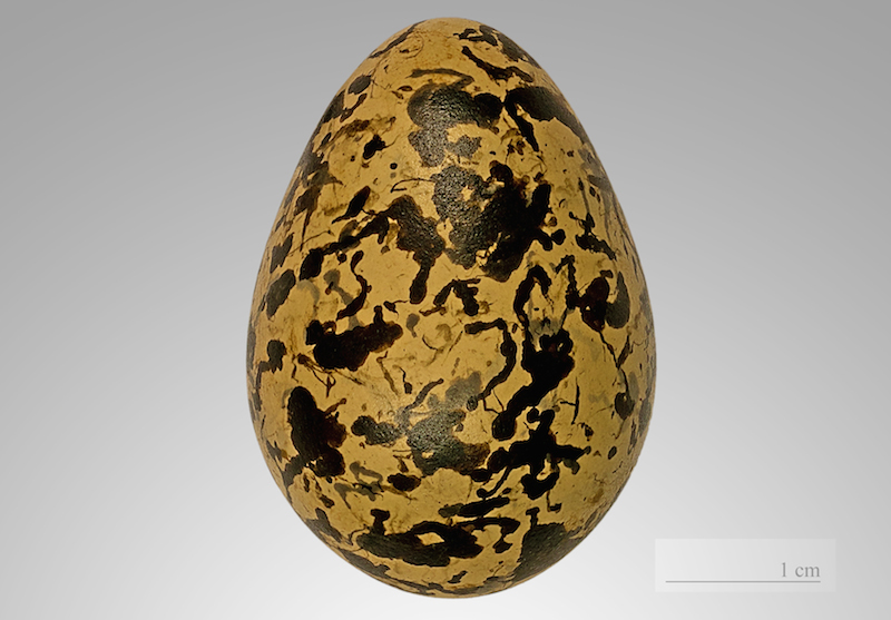 <p><strong>Fig. 5.36.</strong> (<strong>A</strong>) Greater painted-snipe (<em>Rostratula benghalensis</em>) egg</p>