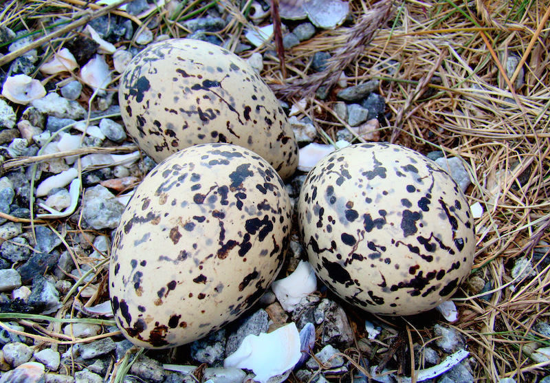 <p><strong>Fig. 5.36.</strong> (<strong>B</strong>)&nbsp;Camouflaged eggs in Eurasian oystercatcher (<em>Haematopus ostralegus</em>) nest, northern Norway</p>