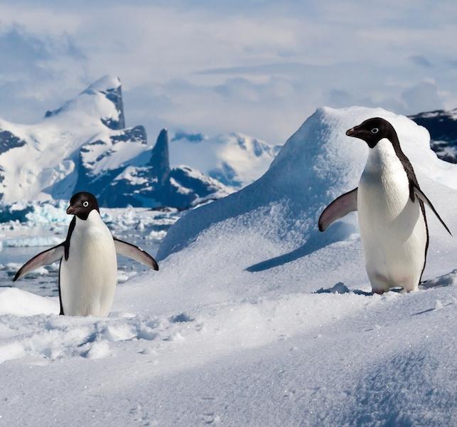 <p><strong>Fig. 5.37.</strong>&nbsp;(<strong>C</strong>) Adélie penguin (<em>Pygoscelis adeliae</em>), South Shetland Islands. Antarctica</p>