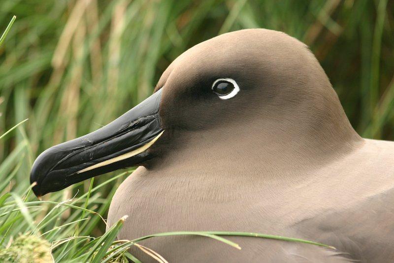 <p><strong>Fig. 5.38.</strong> (<strong>A</strong>) Light-mantled albatross (<em>Phoebetria palpebrata</em>)</p>