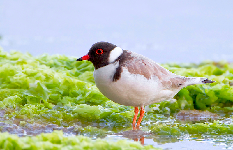 <p><strong>Fig. 5.40.</strong> (<strong>A</strong>) Hooded plover (<em>Thinornis rubricollis</em>), Bruny Island, Tasmania</p>