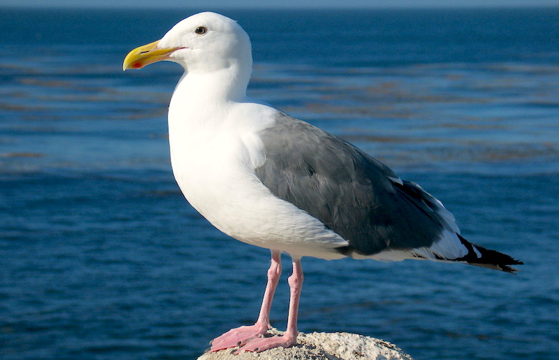 <p><strong>Fig. 5.40.</strong>&nbsp;(<strong>C</strong>) Western gull (<em>Larus occidentalis</em>), Monterey, California</p>