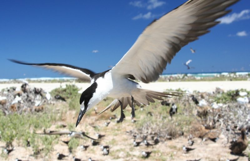 <p><strong>Fig. 5.40</strong>.&nbsp;(<strong>D</strong>) Sooty tern (<em>Onychoprion fuscatus</em>) on Tern Island, French Frigate Shoals, Northwestern Hawaiian Islands</p>