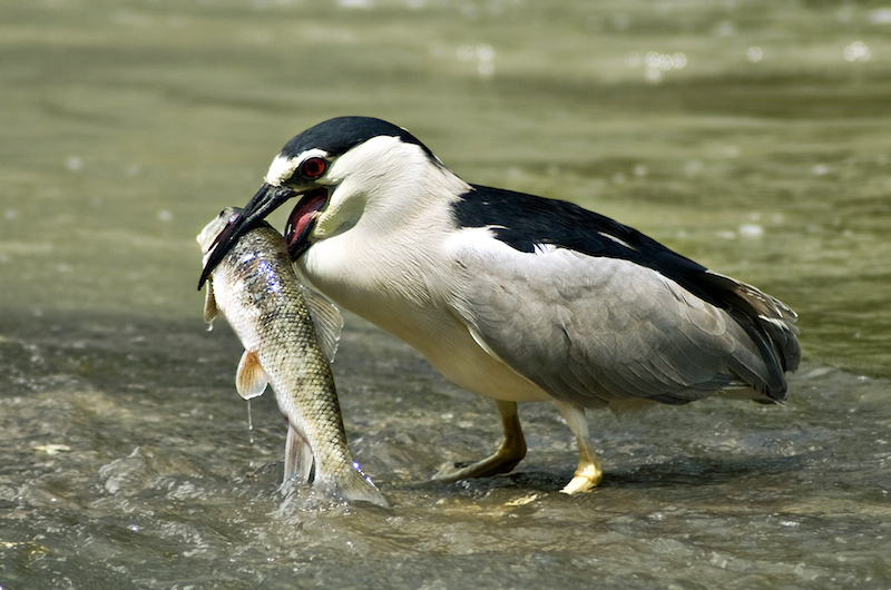 <p><strong>Fig. 5.41.</strong>&nbsp;(<strong>A</strong>) Black-crowned night heron (<em>Nycticorax nycticorax</em>) with fish prey</p>