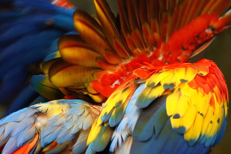 <p><strong>Fig. 5.42.</strong> (<strong>A</strong>) Colorful feather plumage on a scarlet macaw (<em>Ara macao</em>)</p>