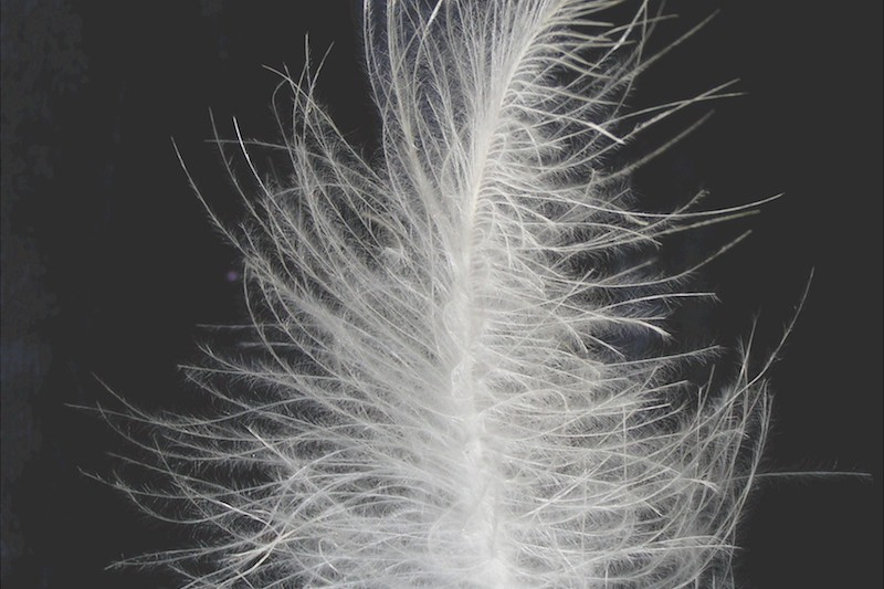 <p><strong>Fig. 5.42.</strong>&nbsp;(<strong>D</strong>) Down feather from a goose</p>