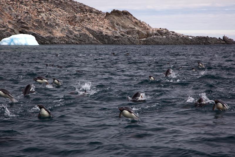 <p><strong>Fig. 5.44.</strong>&nbsp;(<strong>D</strong>) Adélie penguins (<em>Pygoscelis adeliae</em>) exhibiting porpoising swim behavior, Antarctica</p>