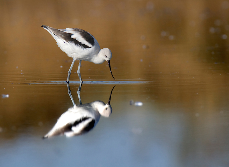<p><strong>Fig. 5.46.</strong> (<strong>A</strong>) American avocet (<em>Recurvirostra americana</em>)</p>