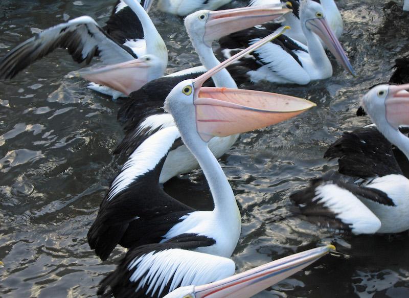 <p><strong>Fig. 5.46.</strong>&nbsp;(<strong>B</strong>) Australian pelican (<em>Pelecanus conspicillatus</em>), Bouddi National Park, New South Wales, Australia</p>