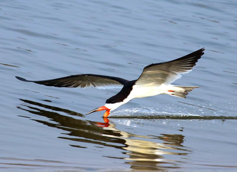 <p><strong>Fig. 5.46.</strong> (<strong>D</strong>) Black skimmer (<em>Rynchops niger</em>) feeding, Pantanal, Brazil</p>