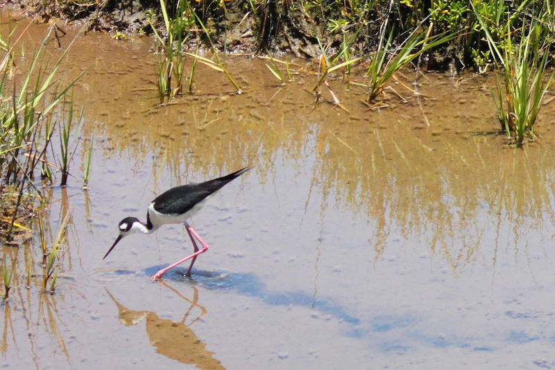 <p><strong>Fig. 5.47.</strong> (<strong>A</strong>) Black-necked stilt (<em>Himantopus mexicanus</em>) foraging for small invertebrate prey in a shallow salt marsh, Bolsa Chica Ecological Reserve, Huntington Beach, California</p>