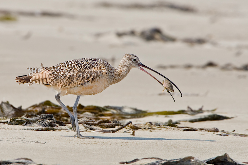 <p><strong>Fig. 5.47.</strong>&nbsp;(<strong>B</strong>) Long-billed curlew (<em>Numenius americanus</em>), eating a sand crab on Morro Strand State Beach, Morro Bay, California</p>