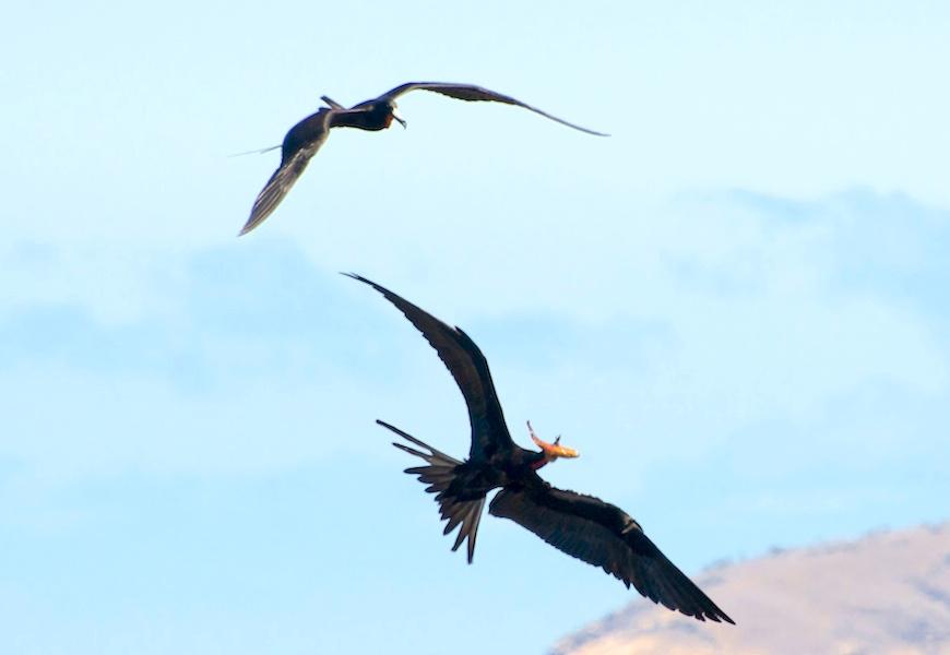 <p><strong>Fig. 5.49.</strong>&nbsp;(<strong>C</strong>) Food stealing behavior between two frigatebirds, Santiago Island, Galápagos Islands</p>
