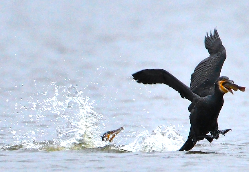 <p><strong>Fig. 5.49.</strong>&nbsp;(<strong>D</strong>) Food stealing behavior between two cormorants</p>