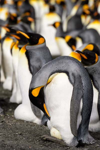 <p><strong>Fig. 5.50.&nbsp;</strong>(<strong>B</strong>) Both male and female king penguins (<em>Aptenodytes patagonicus</em>) take turns insulating their single egg balanced atop their feet, South Georgia Island, south Atlantic ocean basin</p>