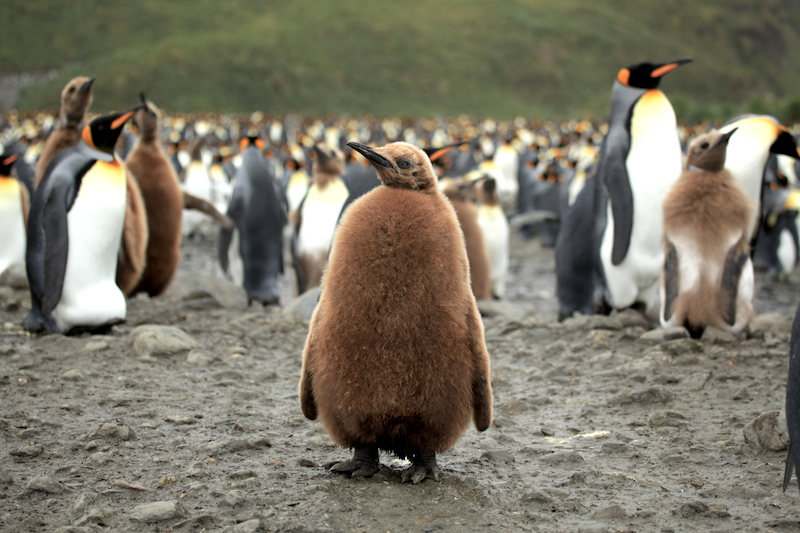 <p><strong>Fig. 5.51.</strong>&nbsp;(<strong>B</strong>) King penguin (<em>Aptenodytes patagonicus patagonicus</em>) chick in juvenile plumage, Salisbury Plain, South Georgia Island, south Atlantic ocean basin. Other king penguin chicks in the background are molting their juvenile feathers.</p>