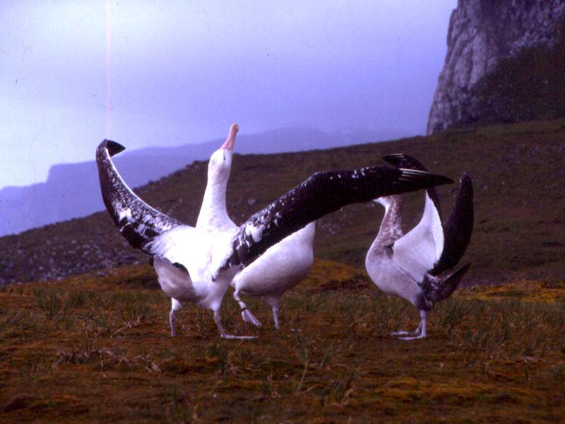 "<p><strong>Fig. 5.52.</strong>&nbsp;(<strong>B</strong>) ""Sky calling"" courtship behavior in wandering albatross (<em>Diomedea exulans</em>), Kerguelen Islands, southern Indian ocean basin</p>"