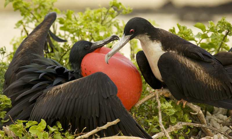 <p><strong>Fig. 5.52.</strong>&nbsp;(<strong>C</strong>) Male great frigatebird (<em>Fregata minor</em>; left) displaying its red throat pouch to a female (right) on Santa Cruz Island, Galápagos Islands.</p>