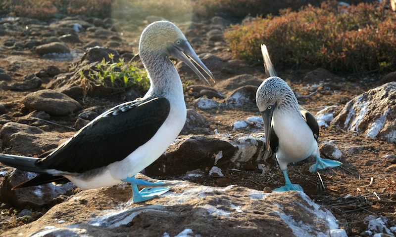 "<p><strong>Fig. 5.52.</strong>&nbsp;(<strong>D</strong>) Two male blue-footed booby (<em>Sula nebouxii</em>) exhibiting ""parading"" dance courtship behavior, Santa Cruz Island, Galápagos Islands</p>"
