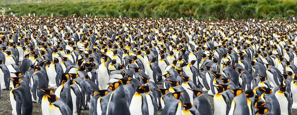 <p><strong>Fig. 5.53.</strong> Tens of thousands of king penguins (<em>Aptenodytes patagonicus</em>) nest together in a large rookery, Gold Harbour, South Georgia, southern Atlantic ocean basin</p>