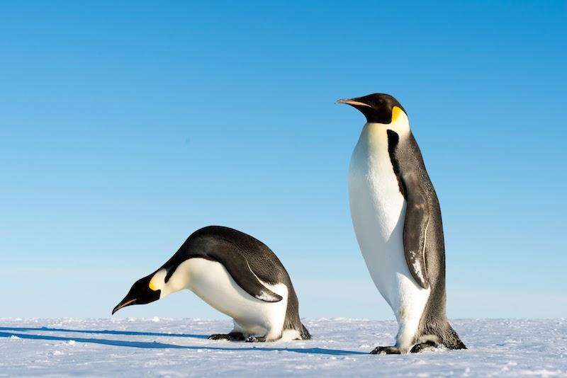 <p><strong>Fig. 5.6.</strong>&nbsp;(<strong>C</strong>) Emperor penguin (<em>Aptenodytes forsteri</em>), Gould Bay, Antarctica</p>