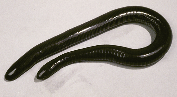 <p><strong>Fig. 5.9.</strong>&nbsp;(<strong>C</strong>) Mexican caecilian (<em>Dermophis mexicanus</em>)</p>