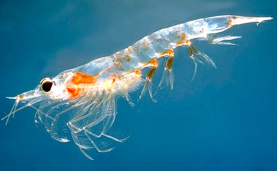 <p><strong>Fig. 6.23.</strong> (<strong>A</strong>) Northern krill (<em>Meganyctiphanes norvegica</em>)</p>
