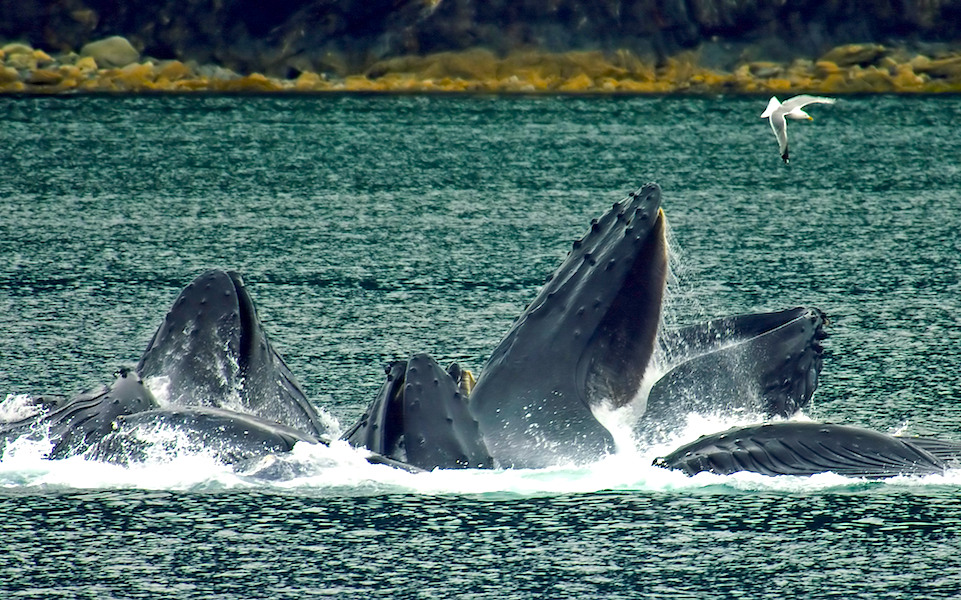 <p><strong>Fig. 6.24.</strong>&nbsp;(<strong>C</strong>) Humpback whales engulfing prey after employing the bubble-net technique, Lynn Canal, Alaska</p>