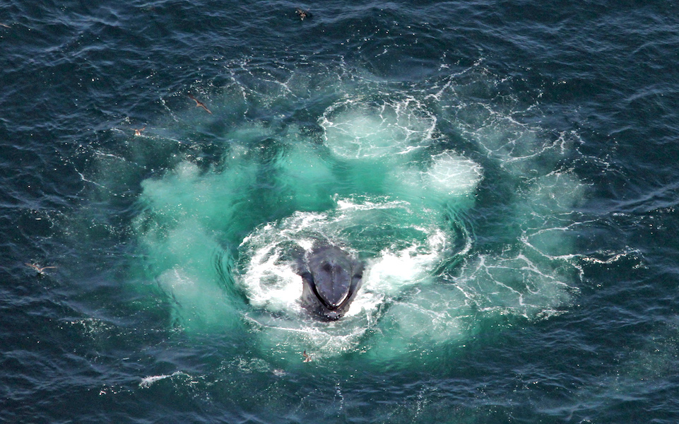 <p><strong>Fig. 6.24.</strong>&nbsp;(<strong>D</strong>) Humpback whale lunging in the center of a bubble net spiral</p>