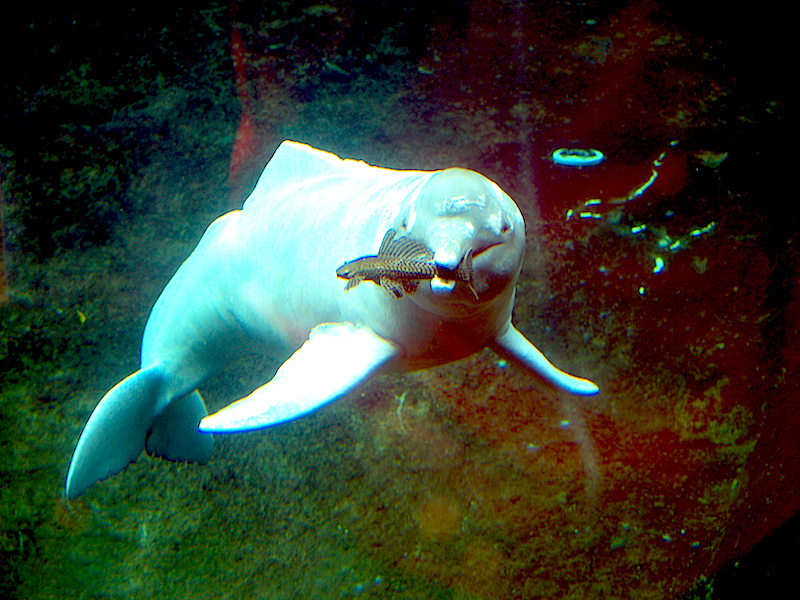 <p><strong>Fig. 6.25.</strong> (<strong>A</strong>) Amazon River dolphin (<em>Inia geoffrensis</em>) catching a fish with its sharp teeth</p>