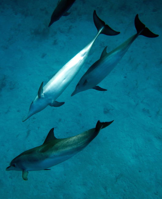 <p><strong>Fig. 6.2.</strong>&nbsp;(<strong>B</strong>) Atlantic spotted dolphins (<em>Stenella frontalis</em>)</p>
