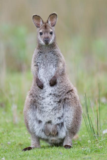 <p><strong>Fig. 6.2.&nbsp;</strong>(<strong>C</strong>) Bennett's wallaby (<em>Macropus rufogriseus rufogriseus</em>)</p>