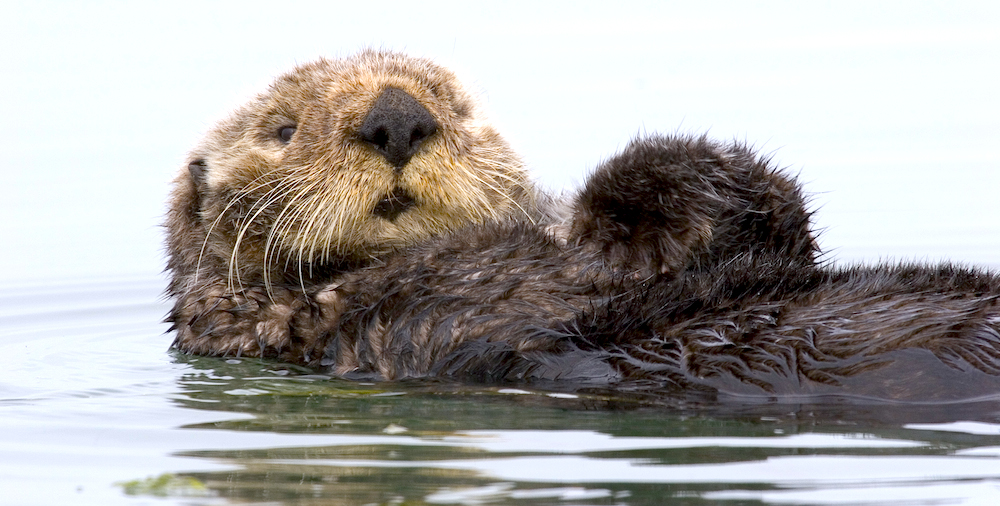 <p><strong>Fig. 6.3.</strong> (<strong>A</strong>) Sea otter (<em>Enhydra lutris</em>), Morro Bay, California</p>