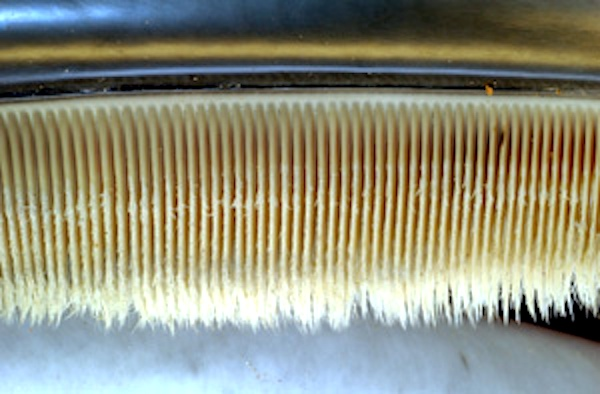 <p><strong>Fig. 6.7.</strong>&nbsp;(<strong>A</strong>) Close-up image of baleen inside the mouth of a mysticete whale</p>