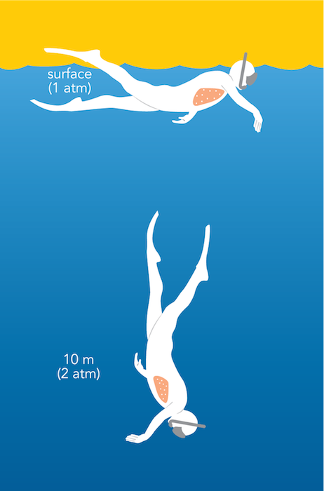 <p><strong>Fig. 9.11.</strong> As a result of the increased pressure, the lungs (pink) compress slightly as a free diver moves from the ocean surface (1 atm of pressure) to 10 m (2 atm of pressure).</p>